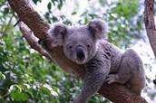A koala hanging on a tree