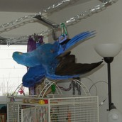 !Hyacinth Macaws Available!