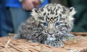 Baby amur leopards