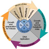 Whole Cell Cycle