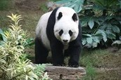 this is a picture of a panda standing