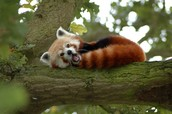 A Yawning Red Panda
