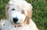 Sunny, our Golden-Doodle