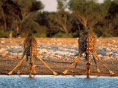 even animals needs lots of water