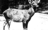 Schomburgk's Deer