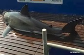 Shark tracked in Pamlico Sound