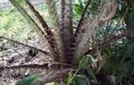 Salak tree (lower)