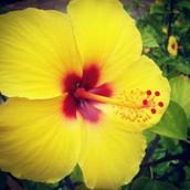 State Flower Hibicus