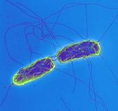 Salmonella Bacteria in the body