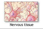 Anatomy and Physiology of the Nervous Tissue