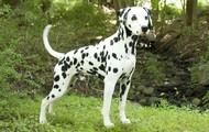 10. Dalmatian