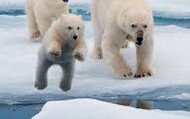 the polar bear trying to jump to the next ice cap