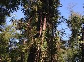 A 15ft tall tree