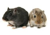 Gabriel and Giana: The Gerbils