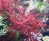 Rodófitas
