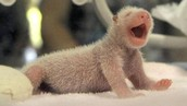 Unnamed Baby Panda