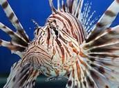 Indo-pacific lion fish