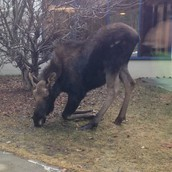 Moose close up