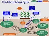 Cycle of phosphorus