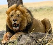 The lion is resting