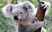 Koala Fact