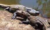 Alligator are usually around 10 to 15 feet long and 800 pounds.