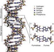 The structure of DNA.