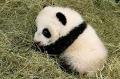 Fun Fact:  Panda Cubs