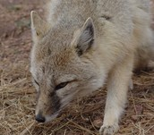 swift fox trying to find a place to dig