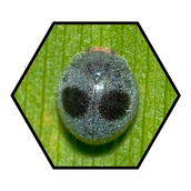 Lady beetle adult