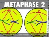 Metaphase 2
