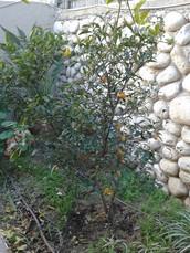 אתם רוצים לגדל עץ תפוז-סיני? הנה מה שאתם צריכים לעשות: