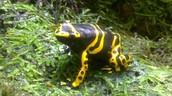 ביערות הגשם יש מגוון של צפרדעים שאנחנו לא רואים בחיי היום יום