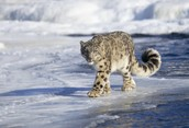 Snow Leopard walking on ice
