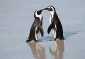 How many penguins are in Antartica