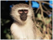 The African Green Monkey