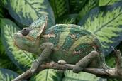Chameleon (Chamaeleonidae)