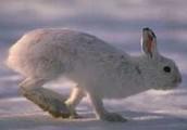Snowshoe Rabbit