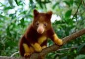 Poaching of tree kangaroo