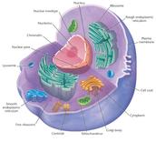 Animal cells