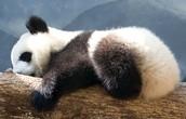 Beba panda spava.