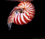 Nautilidae Swimming Away Backwards