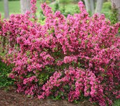 Sonic Bloom Weigela