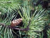 Jake pine