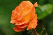 Capa rose