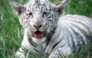 Young White bengal tiger