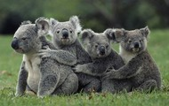 What do koalas do?