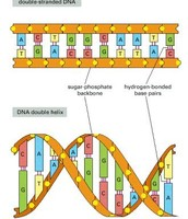 What is DNA's structure?