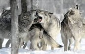 Pack of Gray Wolves