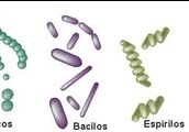 Clases de bacterias: